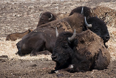 water buffalo(0.0), cattle-like mammal(1.0), animal(1.0), mammal(1.0), fauna(1.0), cattle(1.0), yak(1.0), bison(1.0), safari(1.0), wildlife(1.0),