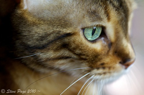 eye canon eos bokeh can stevepage bengal bengalcat itail stephenpage canon5dmarkii canonef100mmf28lisusmmacro pagephotos