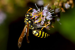 Wasp On Mint I