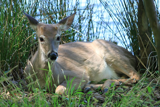 Young buck at Couchville Lake