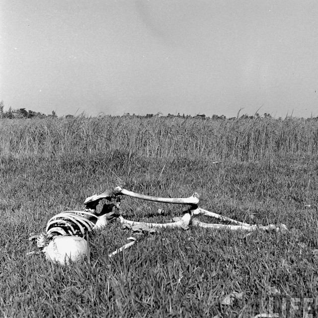 The skeleton of a starved man lies in a field after being eaten by vultures and jackals, Bengal Famine, by William Vandivert 1943