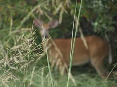 Deer   Bokeh