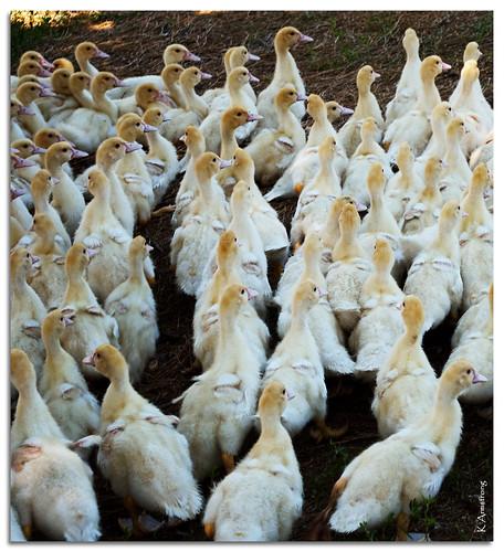 summer vacation newyork ducklings longisland organic freerange easthampton iaconafarm