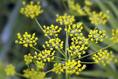 apiales, flower, yellow, plant, herb, wildflower, flora, produce, crop,