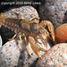 Red-tipped Crayfish