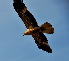 harrier, animal, hawk, bird of prey, falcon, eagle, wing, fauna, buzzard, bald eagle, accipitriformes, kite, beak, bird, flight,