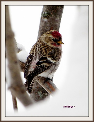 winter snow bird branches explore baiedeschaleurs commonredpoll featherweights naturescarousel prestigenature