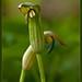 Candileja (arisarum vulgare)