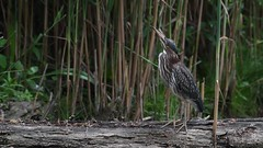 Brief video showing a green heron in hunt mode.His prey this time was a dragon fly..Watch as the green heron snatches the dragon fly in flight.