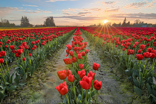 outside flower tulip field view landscape red skagit festival color sunset sunstar beautiful sky flowers art sun seattle washington visit tourist vacation sunrise views farm bloom tokina atx atx1628 5dsr canon