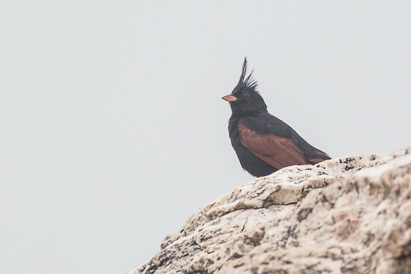 Crested Bunting  male