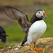 Puffin landing with sand eels
