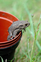 Toad in a pot