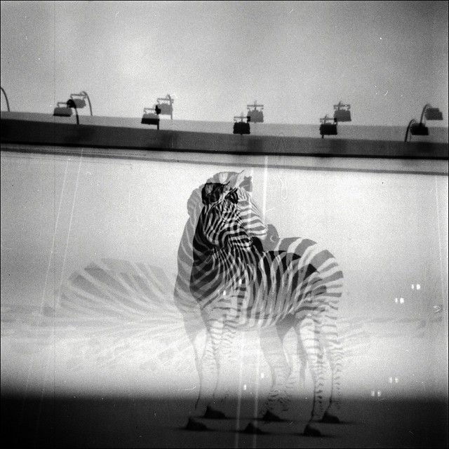 Zebra by Aaltra
