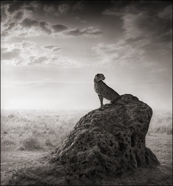 Cheetah on Termite Mound, Masai Mara, by Nick Brandt 2008