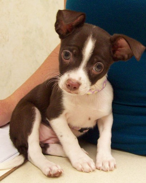 Brown and white chihuahua puppy | Flickr - Photo Sharing!