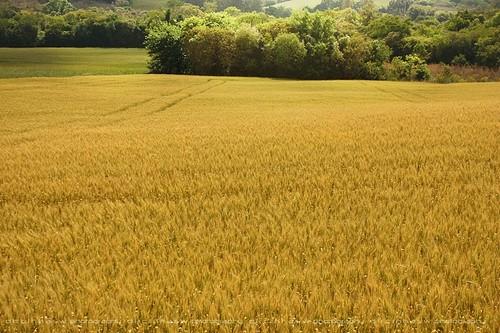 brazil brasil canon wheat sul pampas trigo trigal ijui ijuí riograndesosul dircinha saariysqualitypictures gettyimagesbrasil gettybrasil enviadagb