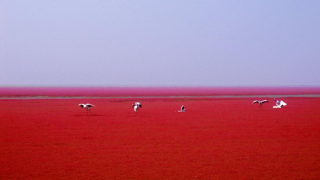 4765965206_12960b1059_b Une incroyable plage rouge en Chine