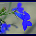 DSCN5885_1_72 - Blue Lobelia Flower