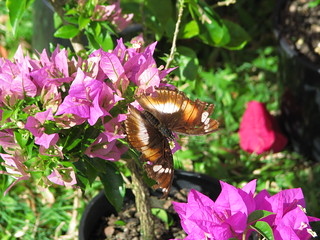 Butterfly on a Bougainvillea