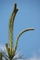 Scots Pine during spring