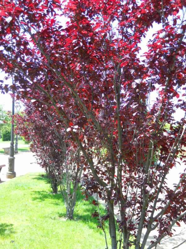Prunus cerasifera 'Nigra' v 1