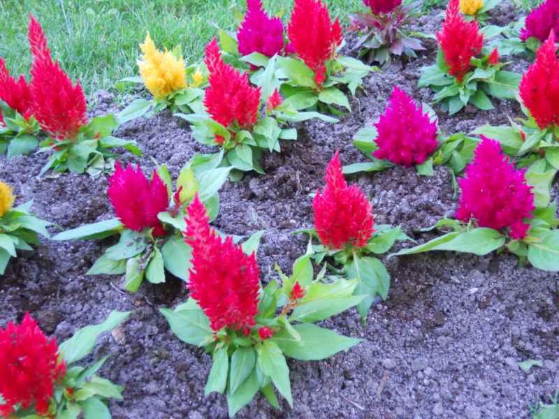 Celosia cristata 'Plumosa' 4