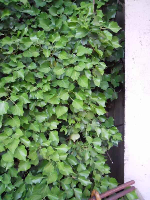 Hedera helix 'Arborescens' v 5