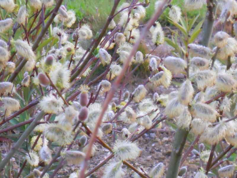Salix repens 2