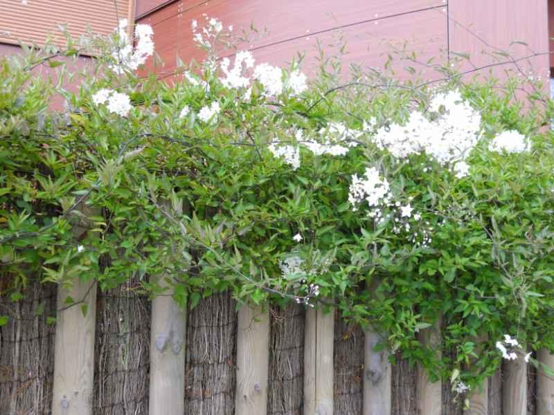 Solanum jasminoides 4