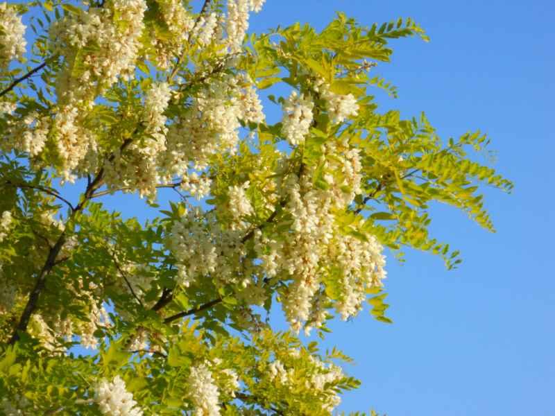 Robinia pseudoacacia 'Frisia' detalle flor 1