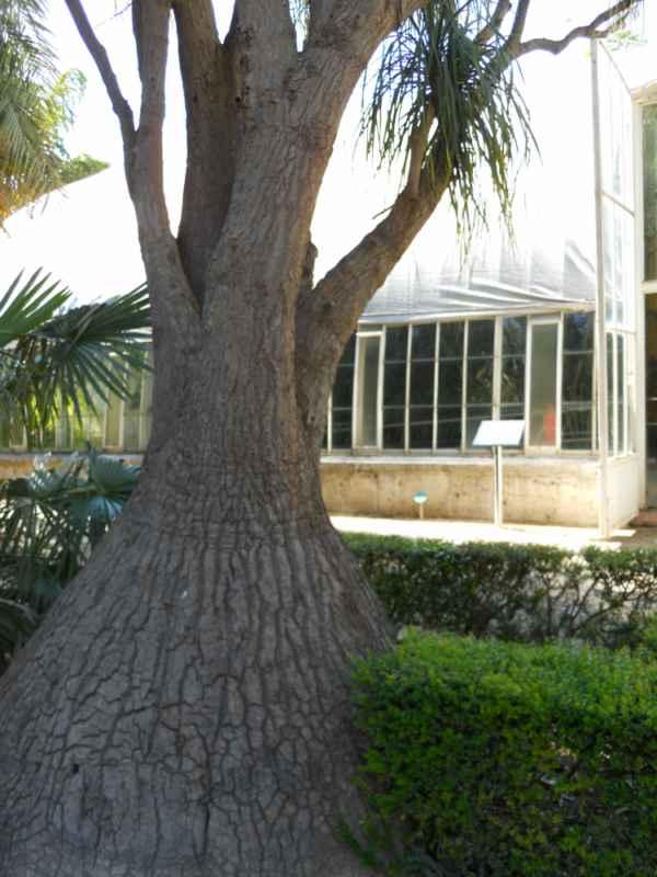 Beaucarnea recurvata 'Lemaire' tronco v 2