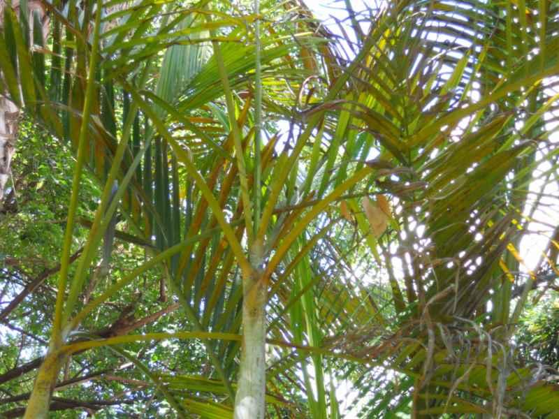 Chrysalidocarpus lutescens detalle hojas 4