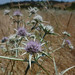 California eryngo - Photo (c) randomtruth, some rights reserved (CC BY-NC-SA)