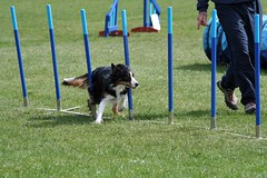 player(0.0), flyball(0.0), dog sports(1.0), animal sports(1.0), dog(1.0), sports(1.0), pet(1.0), conformation show(1.0), dog agility(1.0),