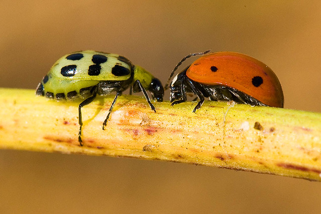 Spotted Cucumber Beetle and Ladybug