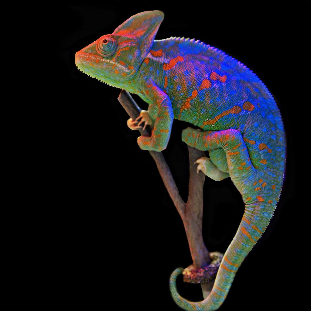 Veiled Chameleon Flickr Photo Sharing