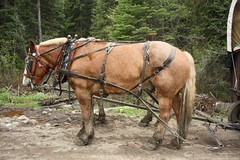 mule(0.0), trail riding(0.0), pack animal(0.0), mare(1.0), vehicle(1.0), rein(1.0), bridle(1.0), horse tack(1.0), horse(1.0), horse harness(1.0), horse and buggy(1.0),