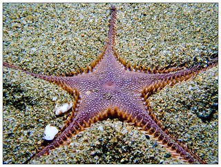 Sea star , Astropecten sp.