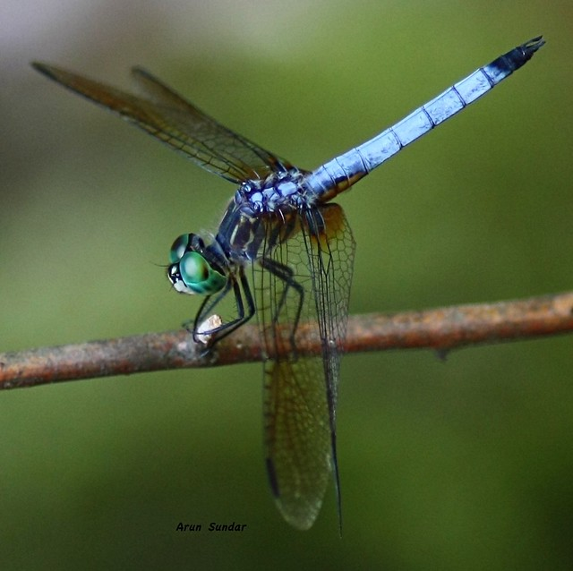 Dragonfly macro   Fl