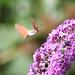 Humming-bird hawk moth by Sparrows' Friend
