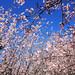 Sakura (flor de cerejeira) by andrezakeiko