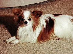 dog breed, animal, dog, pet, mammal, phalã¨ne, papillon,
