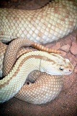 eastern diamondback rattlesnake(0.0), hognose snake(0.0), sidewinder(0.0), animal(1.0), serpent(1.0), snake(1.0), reptile(1.0), fauna(1.0), viper(1.0), rattlesnake(1.0), scaled reptile(1.0), colubridae(1.0),
