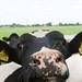 Kinderdijk Cow by ksvrbrg