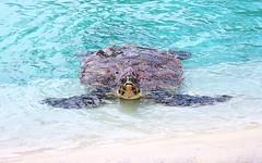 100_6187 Sea Turtle