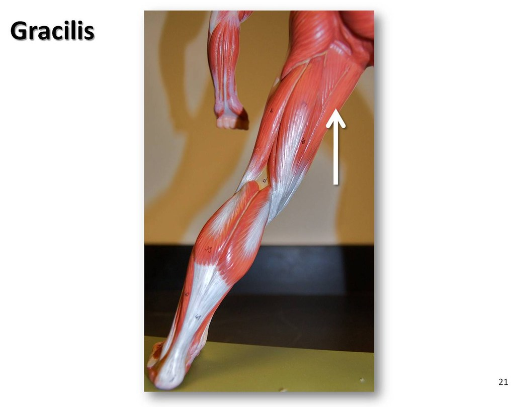 Gracilis Muscles Of The Lower Extremity Anatomy Visual Atlas Page