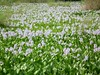 Photo:Common Water Hyacinth ホテイアオイ By T.Kiya