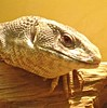 "<a href=""http://www.flickr.com/photos/slappytheseal/4896268556/"">Photo of Varanus exanthematicus by slappytheseal</a>"