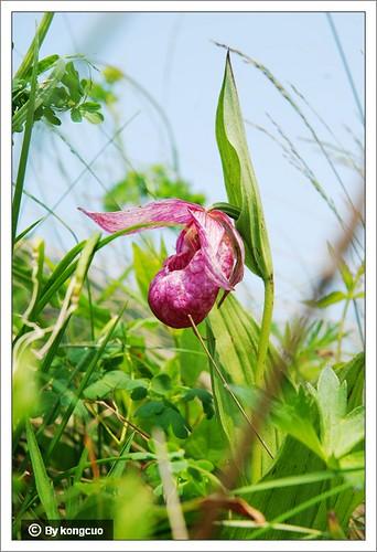 68.兰科杓兰属大花杓兰(大口袋花)2